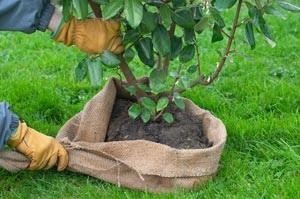 trasplantar-arbol-o-arbusto