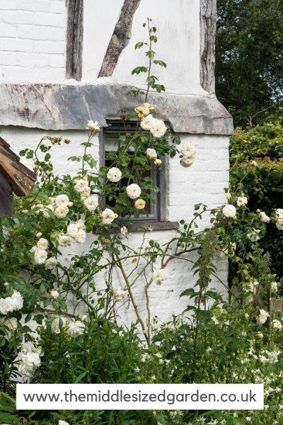 Rosas blancas en la casa blanca
