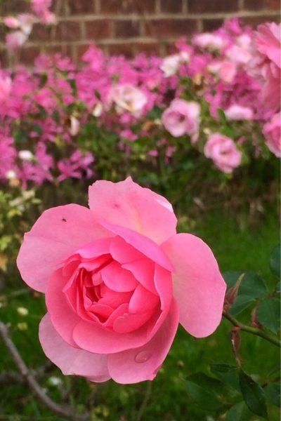 Repita la floración Rosa 'Bonica'