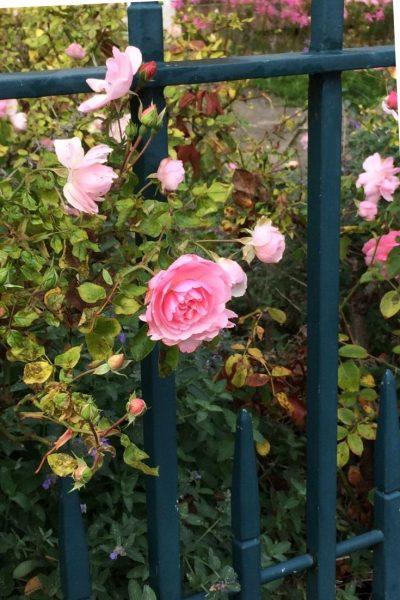 Rosa bonica a la línea de un camino