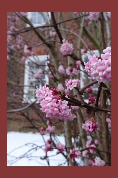 Viburnum bodnantense 'Amanecer' en un jardín de invierno