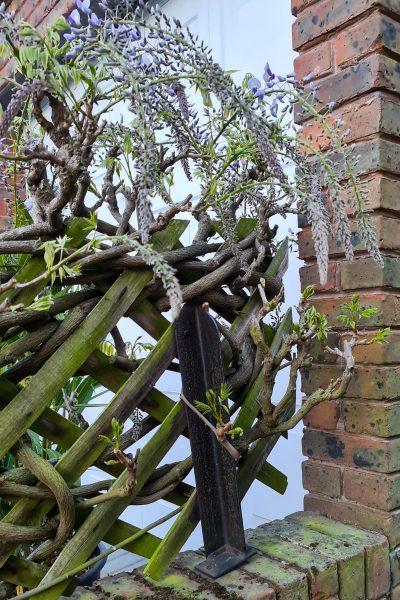 Nudosas ramas de wisteria